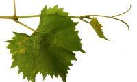 GFV viticole feuilles